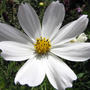 C.bipinnatus_purity_9_7_1