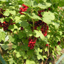 Redcurrant - Prepare to be eaten! (Ribes rubrum (Redcurrant))