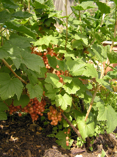 Blackcurrant (collapsing under it's own weight) (Ribes nigrum (Blackcurrant))