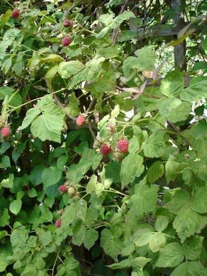 Unknown hybrid berry 2