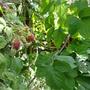 Unknown Hybrid berry 3
