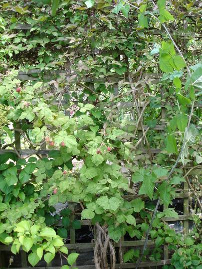 Unknown Hybrid berry 4