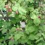 Unknown Hybrid berry 5