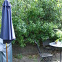 Jostaberry shrub