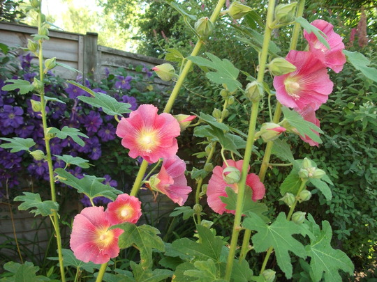 Hollyhock Alcea ficifolia 'Aunt Brownie Fig' this is its 12 year gets rust be otherwise does well (Hollyhock Alcea ficifolia 'Aunt Brownie Fig')