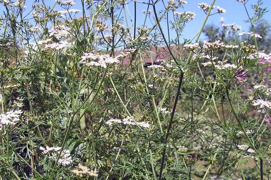Coriander (Coriandrum sativum (Coriander))
