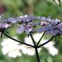 Coriandrum sativum (Coriandrum sativum (Coriander))