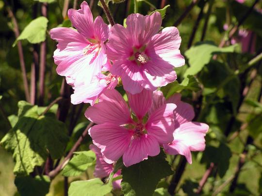 Lavatera arborea (Lavatera arborea (Malva))