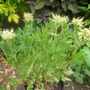 Trifolium_ochroleucron