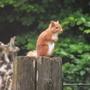 Ginger on Telegraph Pole
