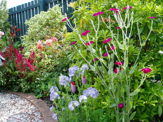Lychnis and Jacob's ladder