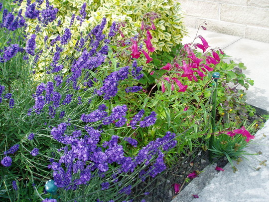 Lavender,Penstemon,and Euonymous