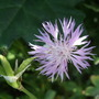 Centaurea simplicicaulis (Centaurea simplicicaulis)