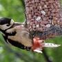 Woodpecker collecting nuts for the nest