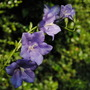 Campanula - Telham Beauty (Campanula persicifolia (Peach-leaved bellflower))