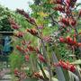 Phormium: 10.7.10 (Phormium tenax (New Zealand flax))