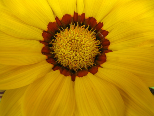 Closer Gazania - Yellow