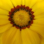 Closer Gazania - Yellow
