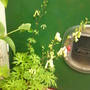 Aconitum septentrionale
