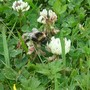 Bees_and_flowers_029