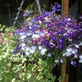 lovely labelia