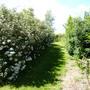 Hedge of Daisy Bush, Olearia macradonta (Olearia macrodonta (Daisy bush))