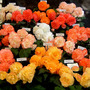 A display of tuberous begonias at our National show.
