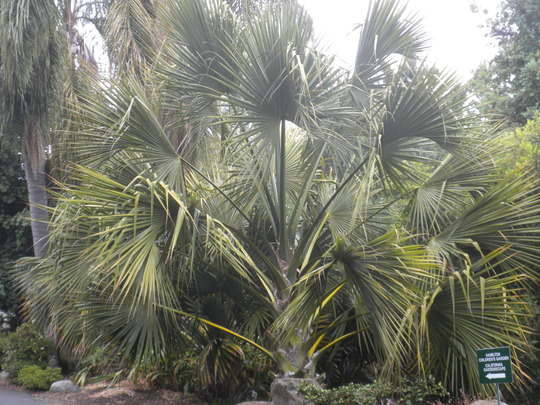 Sabal yapa - Thatch Palmetto Palm (Sabal yapa - Thatch Palmetto Palm)