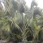 Sabal yapa - Thatch Palmetto Palm (Sabal yapa - Thatch Palmetto Palm)