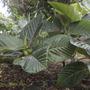 Ficus dammaropsis (fka: Dammaropsis kingiana) - Dinner Plate Fig (Ficus dammaropsis (fka: Dammaropsis kingiana) - Dinner Plate Fig)