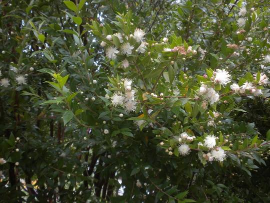 Myrtus communis - Myrtle Tree (Myrtus communis - Myrtle Tree)