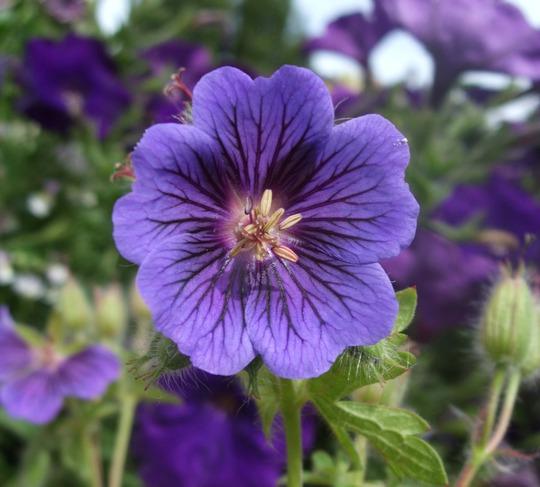 Geranium x magnificum 'Blue Blood' (Geranium x magnificum (Cranesbill))