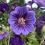 Geranium_blue_blood_