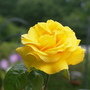 "Rose ""Golden Wedding"" (Rosa multiflora)"