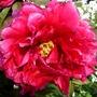 peonie_in_bright_pink.jpg