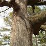 Rat snake in oak tree