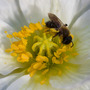 Poppy_insect_close