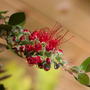 Chris_bottlebrush
