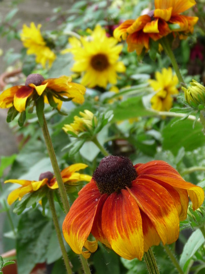 Sunflowers (Rudbeckia fulgida (Black-eyed Susan))