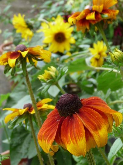 Sunflowers (Rudbeckia fulgida (Black-eyed Susan))