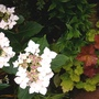 HYDRANGEA with HEUCHERAS......