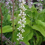 Francoa sonchifolia (Bridal Wreath)