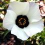 Venice Mallow (Hibiscus trionum)