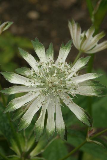 Astrantia variety seen at Hidcote Manor