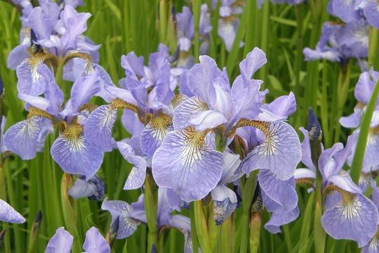 Mass of irises near stream at Hidcote