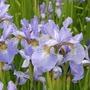 Irises_hidcote