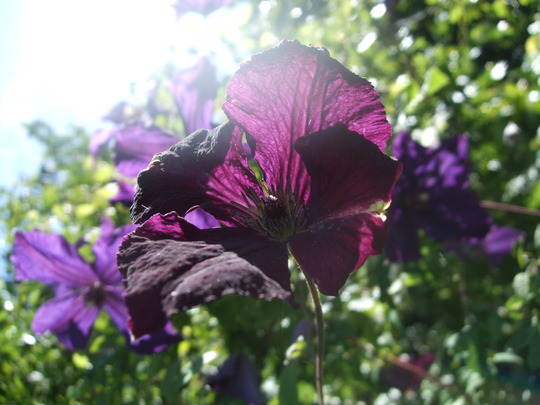 Clematis viticella 'Royal Velours' in the sun. (Clematis viticella)
