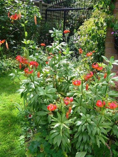 my lily corner. (Lilium pardalinum giganteum)