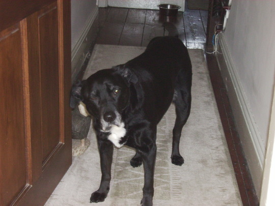 My lovely Dylan, 12 years old and a bit arthritic, like me