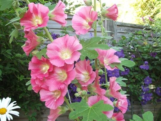 Hollyhock Alcea ficifolia 'Aunt Brownie Fig' (Hollyhock Alcea ficifolia 'Aunt Brownie Fig')